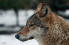 Gray wolf (canis lupus) in snow Kuvituskuvat