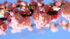 Blossom pink sakura tree in sunny day Stock Footage