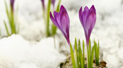 Two spring crocuses on the snow Stock Footage