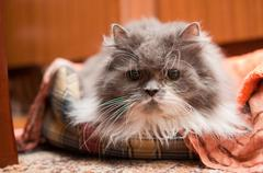 Old grey persian cat in bed Stock Photos