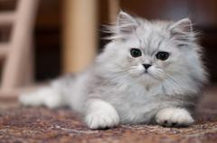 cute little persian kitten - stock photo
