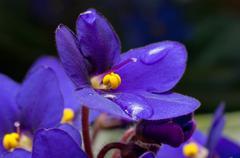 Viola sororia flower detail with raindrops Stock Photos