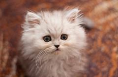 cute little persian kitten - stock photo