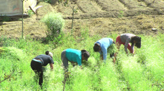 Girls picking bright green herbs Stock Footage