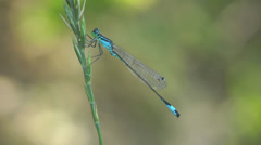 Azure Damselfly dragonfly insect macro blue 4k - stock footage