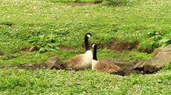 Geese are squawking - stock footage