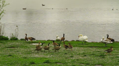 Geese are squawking near water Stock Footage