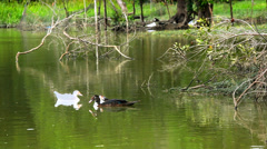 Ducks swimming in pond. Video Stock Footage