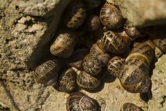 Garden snails, helix aspersa, group nestling in a rock, macro Stock Photos