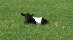Dutch Belted cattle, Lakenvelder calf lies in meadow - on camera Stock Footage