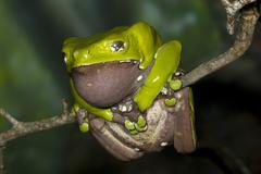 Giant Waxy Monkey Frog Stock Photos