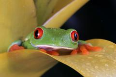 Red eye tree frog, Agalychnis callidryas Stock Photos