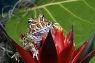 Stock Photo of Argentinian horned frog, Ceratophrys sp.