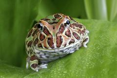 Argentinian horned frog, Ceratophrys sp. Stock Photos