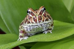 Argentinian horned frog, Ceratophrys sp. - stock photo