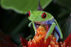 Red eye tree frog, Agalychnis callidryas - stock photo