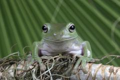 White's tree frog, Litoria caerulea - stock photo