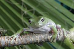 White's tree frog, Litoria caerulea Stock Photos