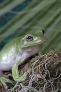 White's tree frog, Litoria caerulea Stock Photos