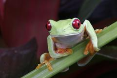 Red eye tree frog, Agalychnis callidryas - stock photo
