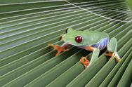 Stock Photo of Red eye tree frog, Agalychnis callidryas