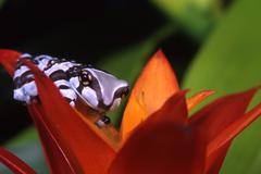 Stock Photo of Amazonian milk frog, Phrynohyas resinifictrix