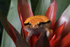 Tomato frog, Dyscophus guineti, Stock Photos