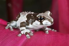 Amazonian milk frog, Phrynohyas resinifictrix - stock photo