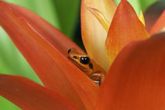 black-eared mantella - stock photo
