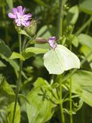 Female brimstone butterfly Stock Photos