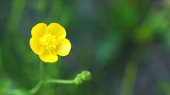 Buttercup on green - stock footage