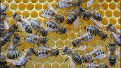 Bees inside a beehive Stock Footage
