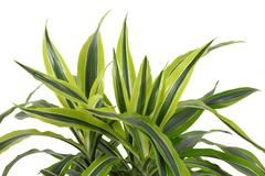 Stock Photo of Chlorophytum - evergreen perennial flowering plants