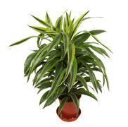 Chlorophytum - evergreen perennial flowering plants - stock photo