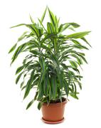 Chlorophytum - evergreen perennial flowering plants - stock photo