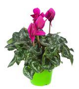 Cyclamen flowerpot - stock photo