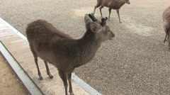 Sika deer in front of Tōdai-ji Temple Stock Footage