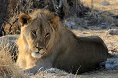 Young male lion (Panthera leo) lying in the grass, Etosha Nation - stock photo