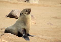 Colony of seals at Cape Cross Reserve, Atlantic Ocean coast - stock photo