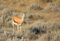 Springbok (Antidorcas Marsupialis ), Etosha National Park Stock Photos