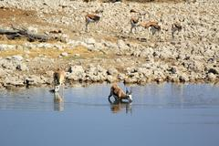 Springbok (Antidorcas Marsupialis), Etosha National Park Stock Photos