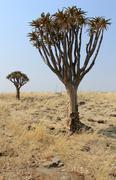 Quiver tree (Aloe dichotoma) in the Namib desert landscape Stock Photos