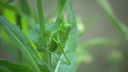 Grasshopper insect green leaf macro 4k Stock Footage