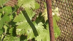 Sick grape leaves Stock Footage