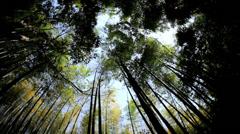Bamboo rainforest Sagano plant harvest canopy Arashiyama Japan - stock footage
