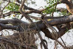 Monitor Lizard camouflaged hidden over branch - stock photo