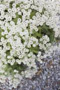 High angle view of white immortelle flowers Stock Photos