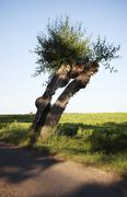 Willow at country road, Beddingestrand, Skane, Sweden Stock Photos