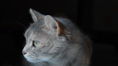 Grey cat with green eyes in the darkness - stock footage
