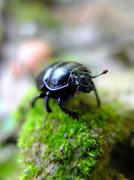 Blue Beetle on moss. Stock Photos
